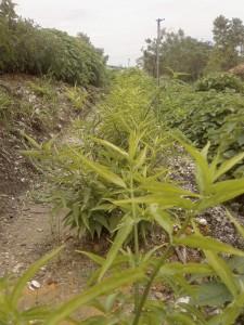 Sabah Snake Grass, cancer herbs